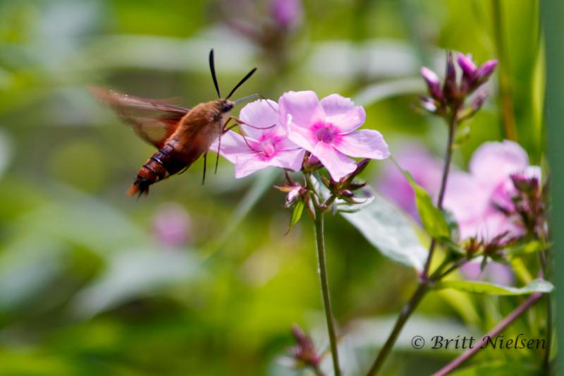 Hummingbird Moth ©Britt Nielsen