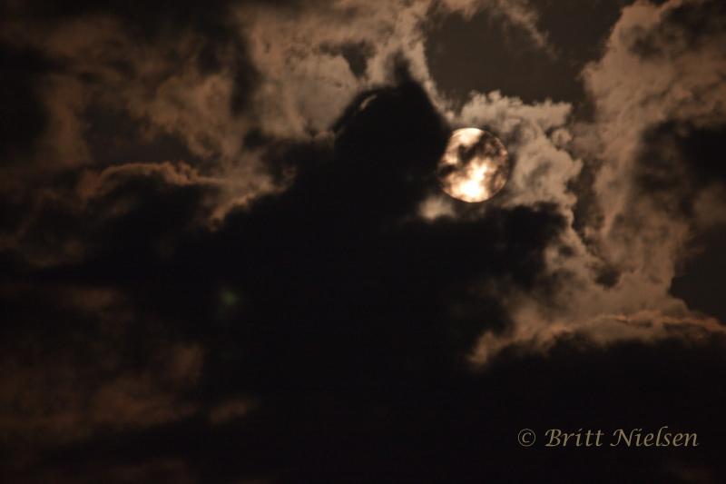 Wolf in the light of the full moon ©Britt Nielsen