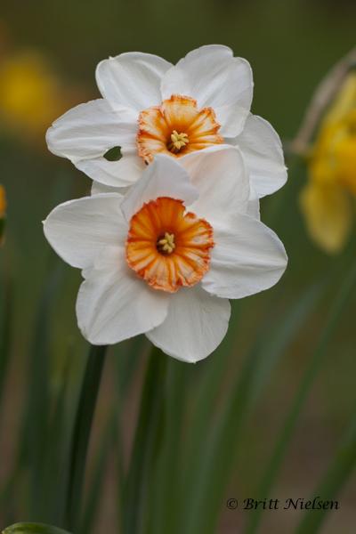 Daffodil Love ©Britt Nielsen