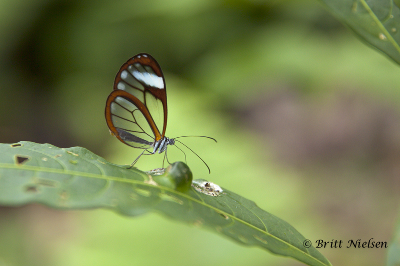 Espejito or Glasswing Butterfly