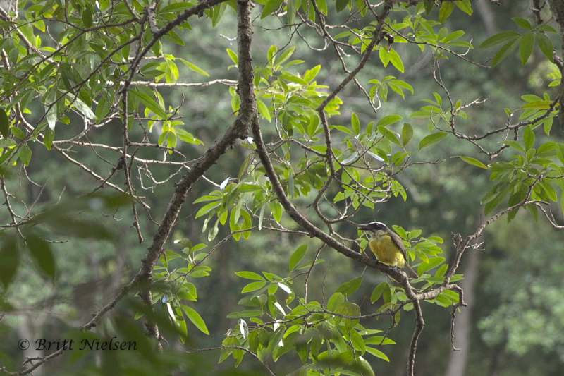 Great Kiskadee Flycatcher from the back