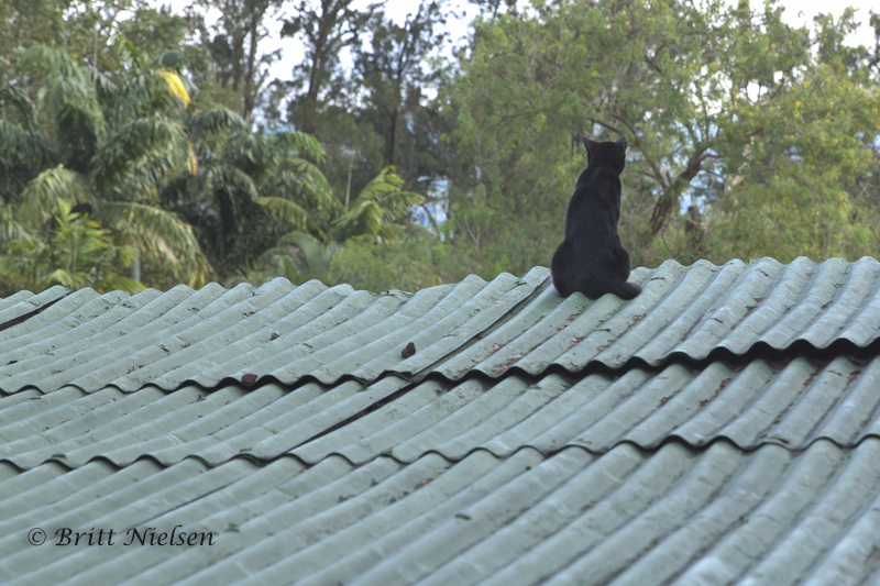 Cat on a Tin Roof (at least I hope that isn't the Great-Tailed Bird Hunter)