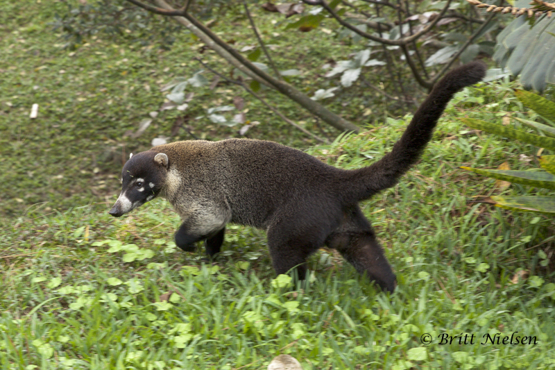 Pizote in Spanish or White-nosed coati in English