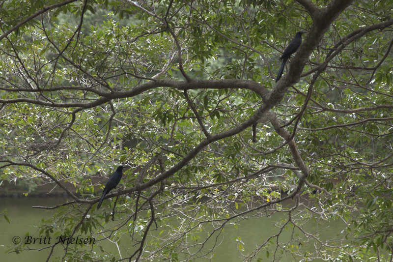 Two Great-Tailed Grackles grackling away loudly!