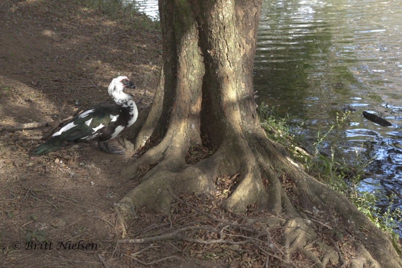 Muscovy Duck (?) paying homage to a tree